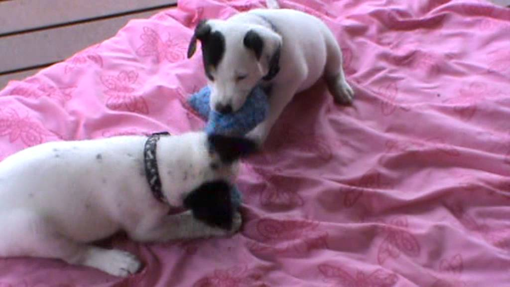Cattle Dog X Kelpie Puppy Has Been Adopted From Dog Rescue Newcastle