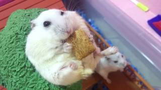 My Hambody's Too Hamsterlicious For You!