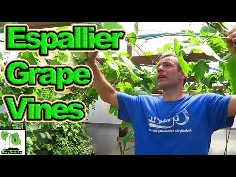 How To Espalier And Prune Grape Vines