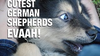 Top 30 German Shepherd Puppies Rocking Out With Their Tongue Out!
