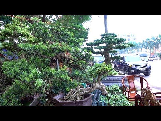 Lần đầu nhìn thấy hàng quý như thế này, cây đẹp giá rẻ - beautiful bonsai