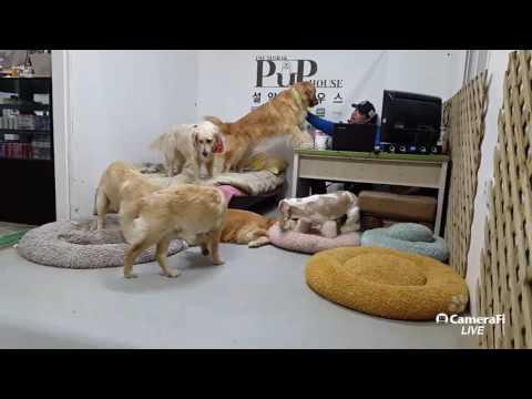 #설악펍하우스 #골든리트리버 #코카스파니엘 170331 [Korea Dog TV live] #dog
