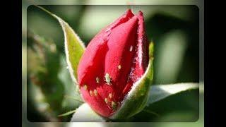 видео Тля на розах: как бороться, как избавиться, средства