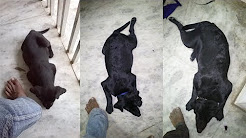 Black Lab Puppy Growth From 6 Weeks To 1 Year