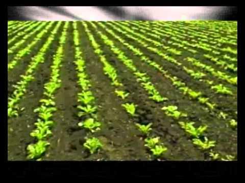 Сахарная свекла. Share page with addthis. Погода. Свекла сахарная. Средства защиты растений и агрохимикаты · семена полевых культур · семена.