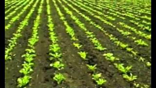 Смотреть видео Технология возделывания сахарной свеклы: уборка, посев
