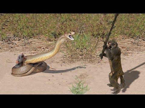 Monyet Pemberani !! Menolong Keselamatan Tikus Dari King Cobra
