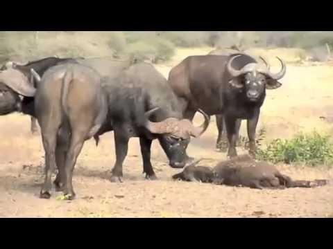 Lutas de animais-Leões vs Búfalos!