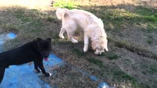 Golden Retriever Vs Pitbull