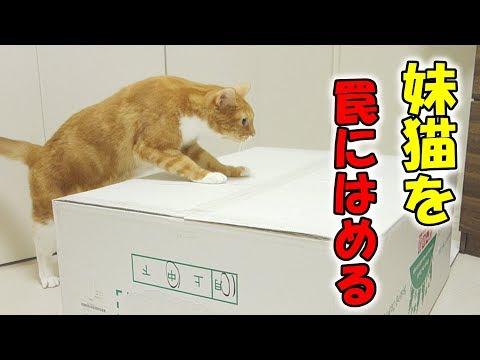 賢い猫が巧妙に妹猫を罠にはめる【おもしろ】 / smart cat trapping another cat