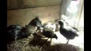 Czubatki Padewskie Olbrzymie kurczaki 3 tygodniowe