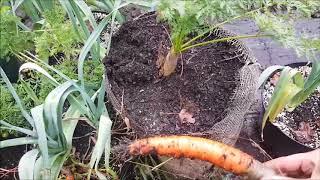 Koniec papryk; 2,5kg kalarepa, zmiana stanowiska | Doniczkowa uprawa 2017