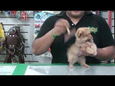 Maumaumascotas Com La Raza De Perros Pomerania Youtube