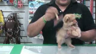 maumaumascotas.com - La raza de perros Pomerania