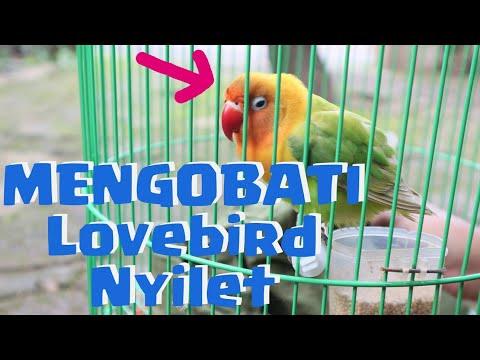 Cara Obati Lovebird Kurus Nyilet, 7 Hari Gemuk Lagi