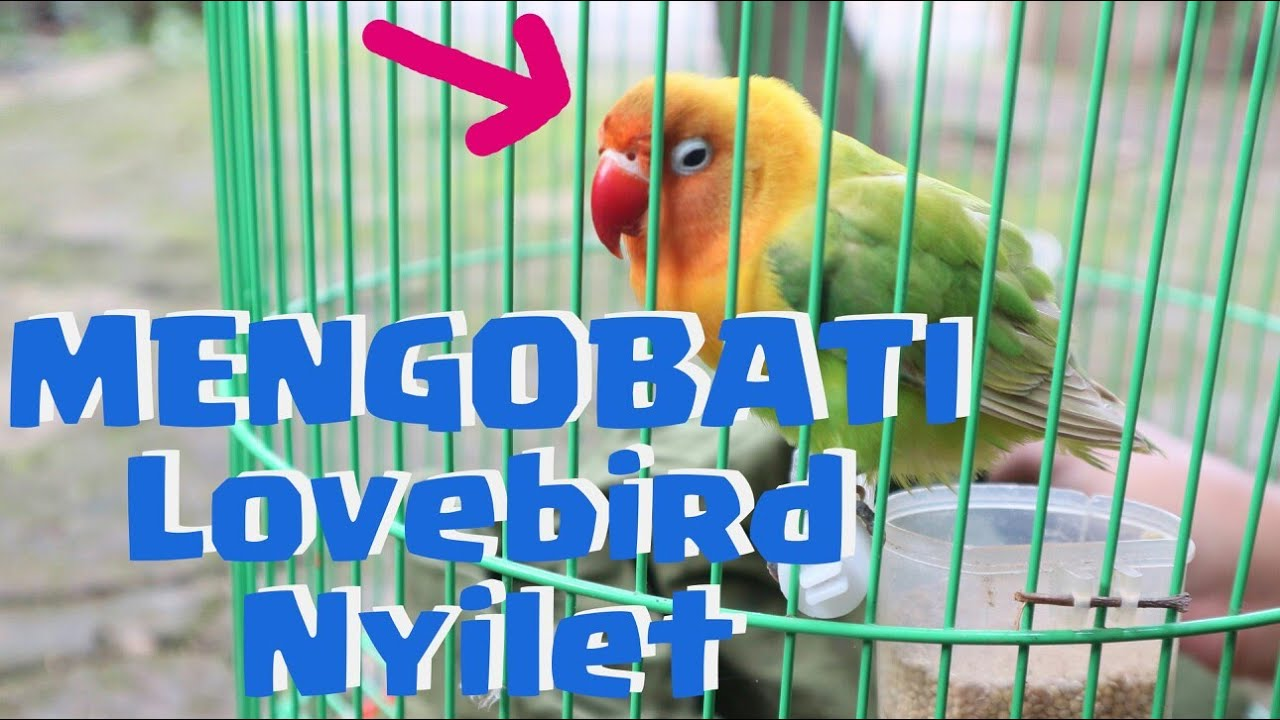 Cara Obati Lovebird Kurus Nyilet 7 Hari Gemuk Lagi Youtube Obat Cacing Super Rontok