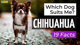 Is a Chihuahua the Right Dog Breed for Me? 19 Facts About Chihuahuas!