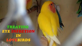 Treating eye infection in lovebirds (Urdu/Hindi)