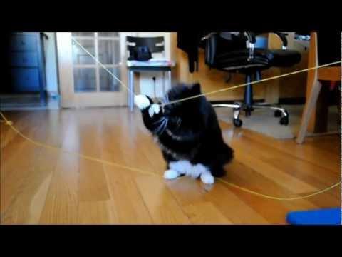 Spock, the Norwegian Forest Cat - NFO 101