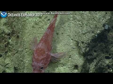 Okeanos dive Howland Island 600 meters