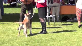 Colored Bull Terriers - Best Of Variety Mar 3rd, 2012