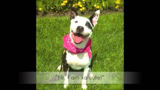 Cute Dallas - Bull Terrier Mix - Professionally Trained - Needs Home