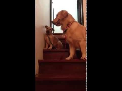 Un cachorro bajando por primera vez la escalera