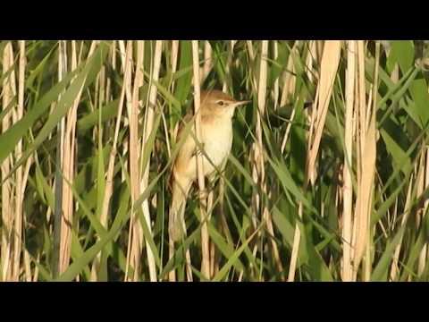 Caspian Reed Warbler: Al Asfar Lake, Eastern Province, Saudi Arabia
