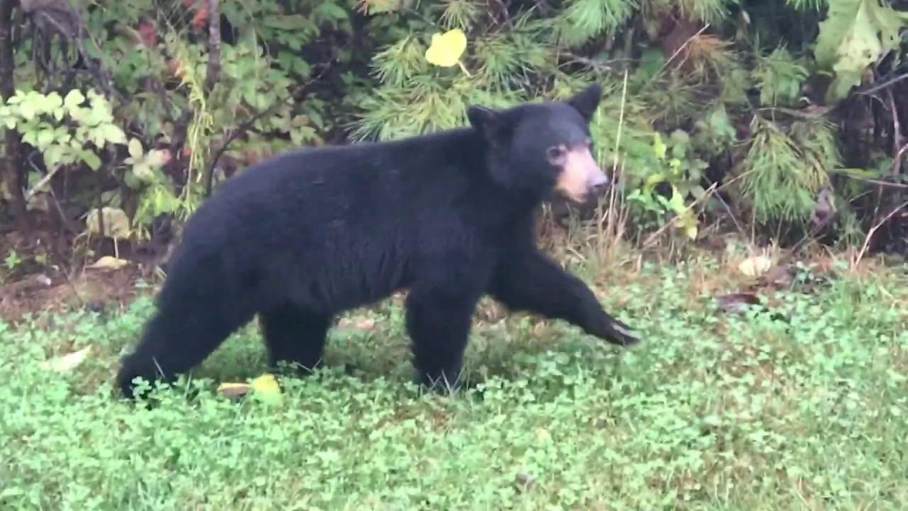 Black Bear in Yard   Old Fort NC - YouTube
