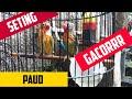 Tips Seting Love Bird Paud Sistem Untulan Wajib Di Coba  Mp3 - Mp4 Download