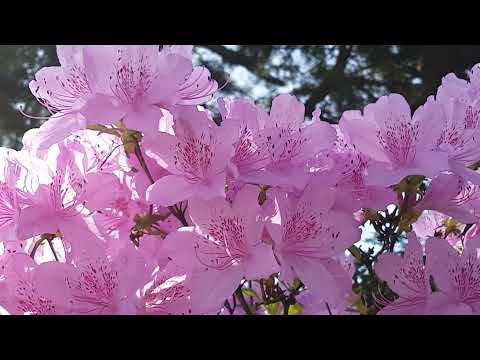 Flower with Meditation Music || Free Background Video & Music For You tube No Copyright ||