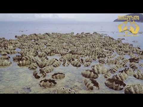 GIANT CLAMS AT ORPHEUS ISLAND, AUSTRALIA - AERIAL DRONE SHOOT