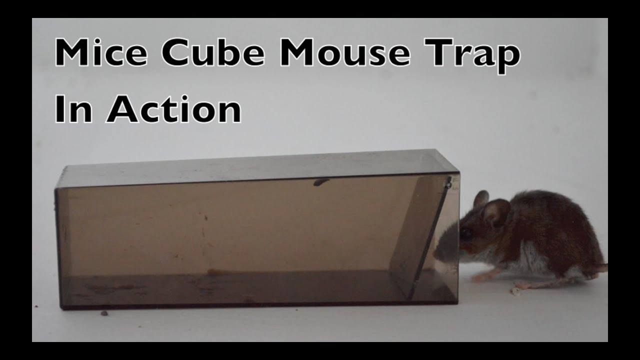 a7fbecfed55 Mice Cube Mouse Trap In Action. The World's Simplest Live Catch Mouse Trap