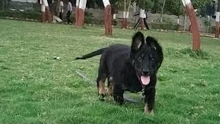 GSD Puppy John Banega DON