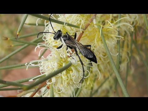 Mapping Wasps and Their Plant Hosts in Australia