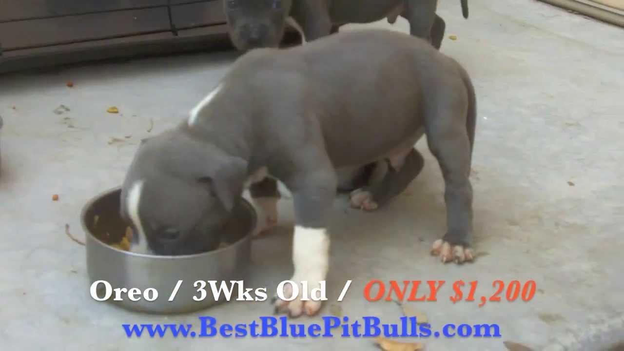 Pitbull puppies for sale in Arizona 'PR' UKC Registered Blue Pit Bull  Puppies in Arizona