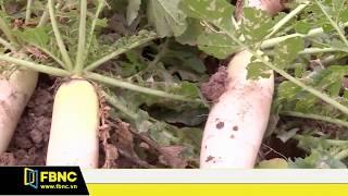 Nông dân vứt bỏ hàng tấn củ cải do rớt giá | FBNC