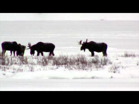 New Year's Trip to Yellowstone National Park and Four Moose Near Pebble Creek