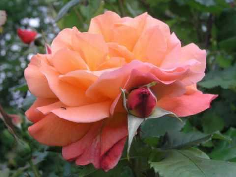 Роза-хамелеон Вестерленд
