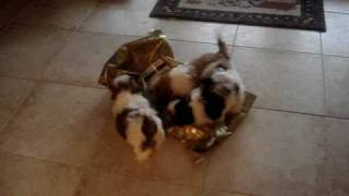 Shih Tzu Playing With Empty Eagle Pack Dog Food Bag