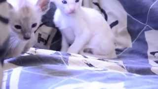 "Питомник сиамских кошек ""Амулет""."