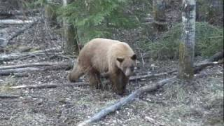 Blonde Bear Hunting Alberta Canada With Garrett Brothers Outfitting