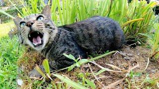 キジトラ猫が大きな鳴き声で「モフってくれ!」と要求してきた