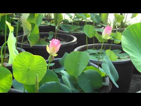 Seerosenfarm Nelumbo Pink and Yellow