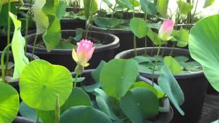 Seerosenfarm Nelumbo Pink and Yellow