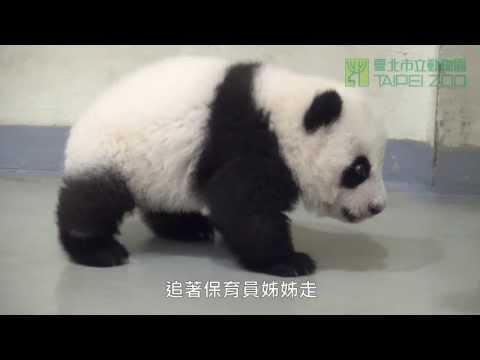好動的圓仔 The Energetic Giant Panda Cub Yuan Zai (English Subtitle Available)