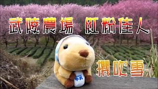 2018/02/23 武陵農場 紅粉佳人 櫻花 滿開 櫻吹雪