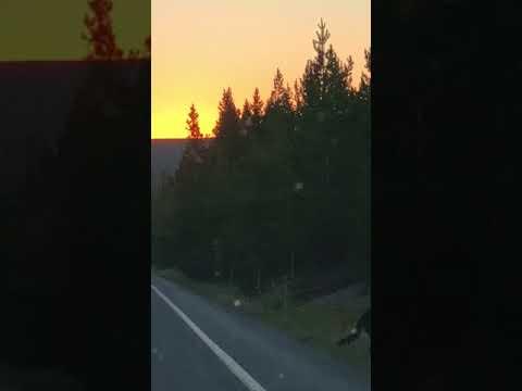 Wolf Pack Sighting - Yellowstone 2018