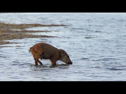 Wild boar drinking sea water! Кабаны пьют морскую воду!