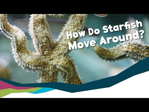 Deep Dive - How Do Starfish Move